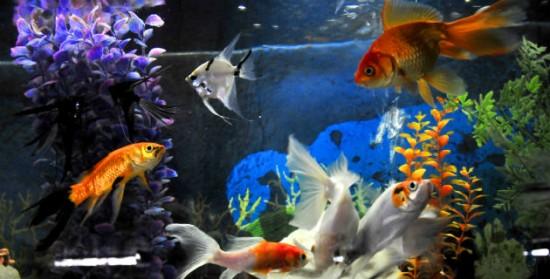 Conserve y proteja su acuario revistas for Carpas para acuario